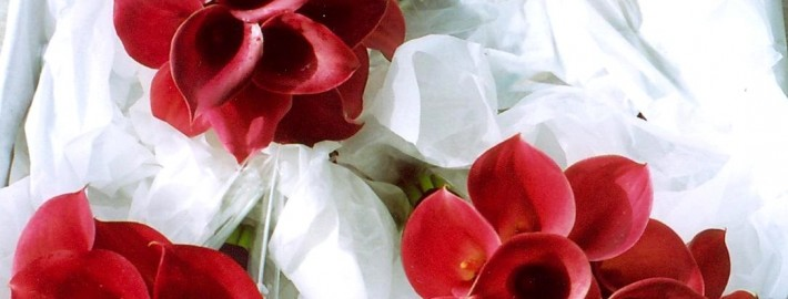 Bridal Red calla lily